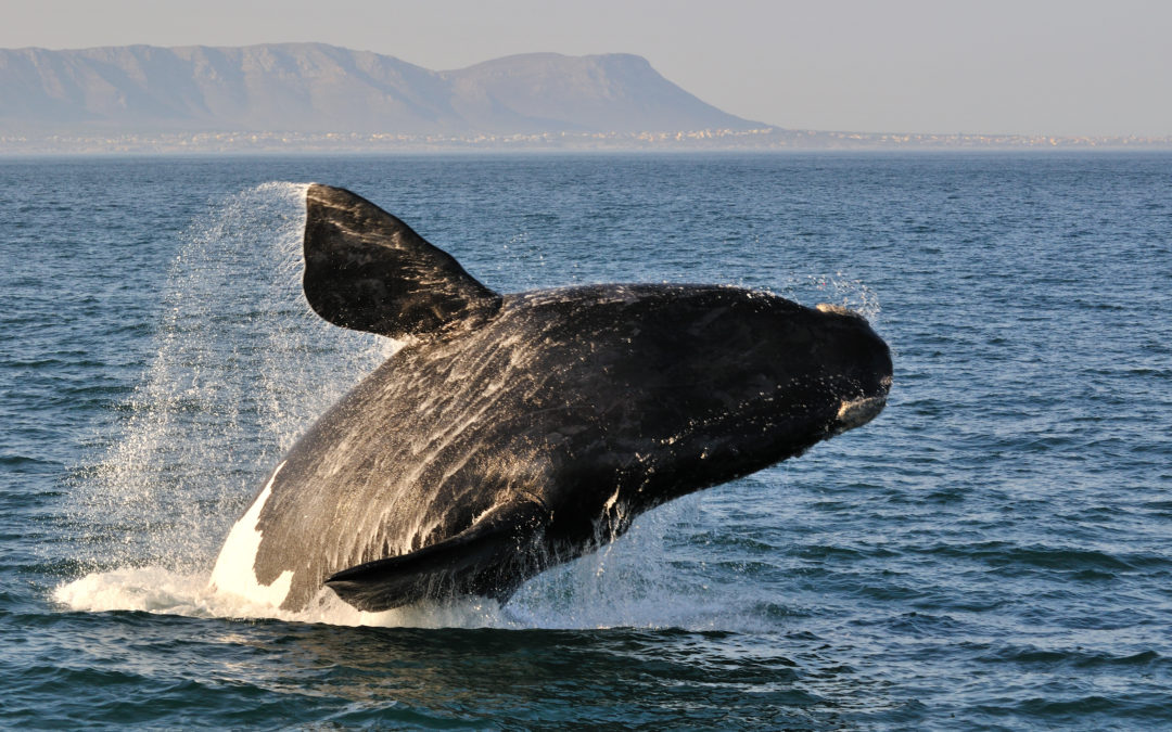 Welcoming The Whales in Hermanus